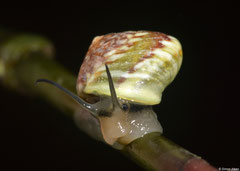 Helicina fasciata (Col des Mamelles, Guadeloupe)