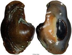 Neritina latissima (Panama, 56,2mm WRS)