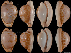 Cypraea connelli (South Africa)