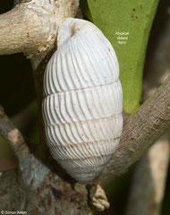 Cerion aguayoi (Caletones, Holguín, Cuba) (ribbed form)