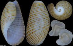 Scaphander japonicus (Philippines, 8,8mm) F+++ €5.50 (specimens for sale are 8-10mm and are of the same quality as the specimen illustrated)