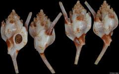 Siphonochelus pavlova (Queensland, Australia, 17,6mm)