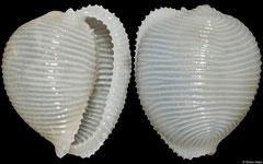 Trivellona globulus (Philippines, 11mm)