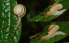 Suavitas leucoraphe (La Cumbre, Dominican Republic)