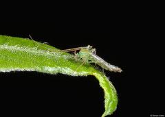 Non-biting midge (Chironomidae sp.), Fianarantsoa, Madagascar