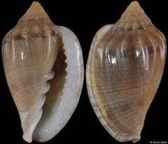 Glabella denticulata (Senegal, 21,6mm) F++ €8.00