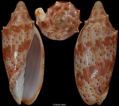 Cymbiola cracenta (Queensland, Australia, 51,4mm)