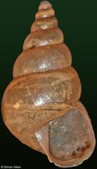 Conulinus cf. rufoniger (Madagascar, 14,3mm)