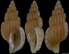 Africotriton fictilis (South Africa, 15,7mm)