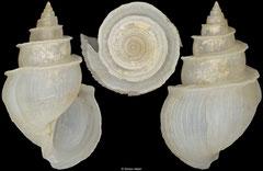 Microstelma oshikatai (Philippines, 12,2mm)