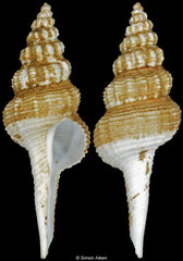 Coluzea rotunda (South Africa, 64,8mm)