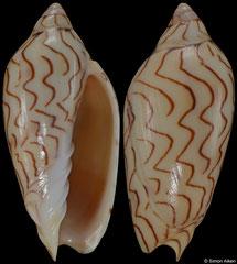Amoria macandrewi (Queensland, Australia, 44,0mm)