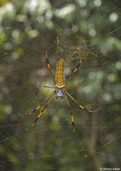 Golden orb-weaver (Nephila clavipes), Greater Antilles