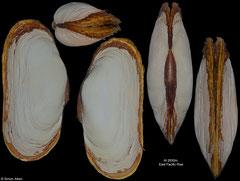 Calyptogena magnifica (East Pacific Rise, 114,4mm)