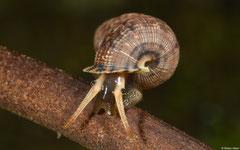 Parachondria trachyderma (Sánchez, Dominican Republic)