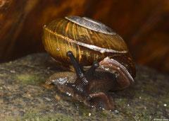 Pleurodonte cf. guadeloupensis (La Grande Soufrière, Guadeloupe)