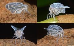 Planthopper (Cixiidae sp.), Angkor Chey, Cambodia