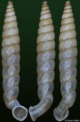 Gyraxis sericata (Dominican Republic, 12,3mm)
