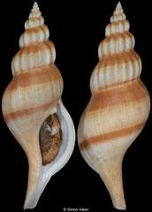 Bucciniumvoluta vicdani (Philippines, 101,7mm)