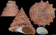 Bolma massieri (South Africa, 92,5mm)