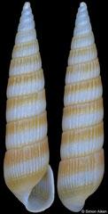 Pyrgolampros sp (Pacific Mexico, 7,7mm)