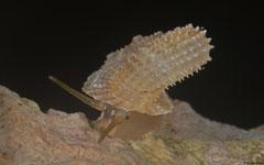 Abbottella moreletiana (Cueva La Arena, Boca del Infierno, Dominican Republic)