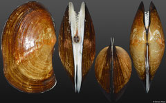 Yoldia thraciaeformis (Kuril Islands, 59,9mm)
