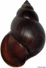 Lanistes ovum purpureus (Tanzania, 72mm)
