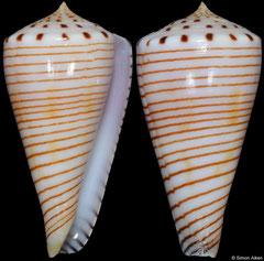 Conus hirasei (Philippines, 51,3mm)