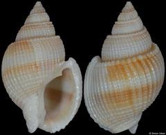 Nassarius siquijorensis (Vietnam, 23,1mm) F+++ €4.00