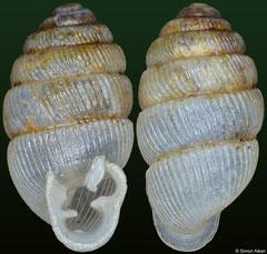 Gulella thompsoni (Madagascar, 6,0mm)