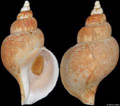 Lussivolutopsius furukawai (Japan, 77,0mm)