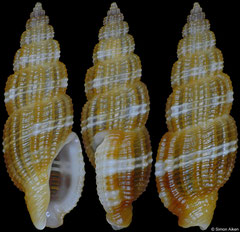 Kermia producta (Philippines, 13,3mm)