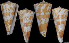Conus sculletti (Queensland, Australia, 42,4mm, 44,6mm) F+/F++ €17.00