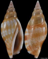 Canarium fusiforme (Mozambique, 29,5mm)