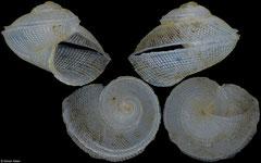 Anatoma japonica (Philippines, 3,6mm)