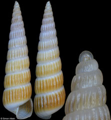 Turbonilla gloriamishimana (Philippines, 14,1mm) F+++ €5.50