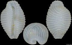 Gregoia mauricetteae (Philippines, 4,1mm)