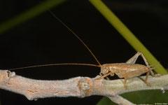 True cricket (Gryllidae sp.), Broome, Western Australia