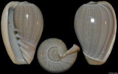Cryptospira ventricosa (sinistral freak, Philippines, 27,7mm)