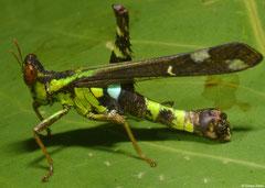 Monkey grasshopper (Erianthus versicolor) male, Kampong, Cambodia