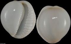 Triviella calvariola (South Africa, 16,7mm) F+++ €27.00