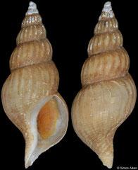 Plicifusus croceus (Japan, 38,3mm) F+ €24.00