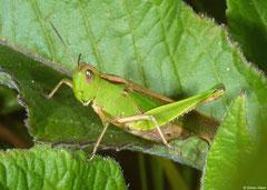 Grasshopper (Acrididae sp.), Mantadia, Madagascar