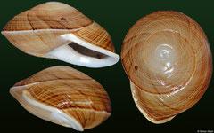 Eurycratera angustata (Dominican Republic, 35,1mm)
