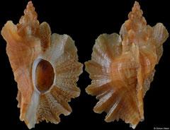 Pteropurpura macroptera (California, USA, 39,5mm) F++ €35.00