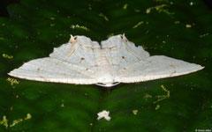 Geometer moth (Scopula sp.), Balut Island, Philippines