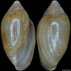 Auriculastra sp. (Vietnam, 9,9mm)