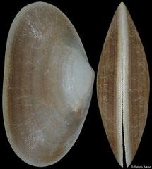 Barrimysia cumingii (Philippines, 27,5mm)