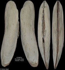 Abyssogena phaseoliformis (Aleutian Trench, 169,6mm)